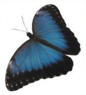 blauer Schmetterling, freigestellt