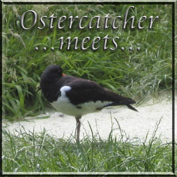 Oystercatcher meets