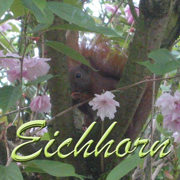 Eichhorn Squirrel