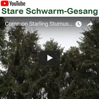 Stare Schwarm-Gesang