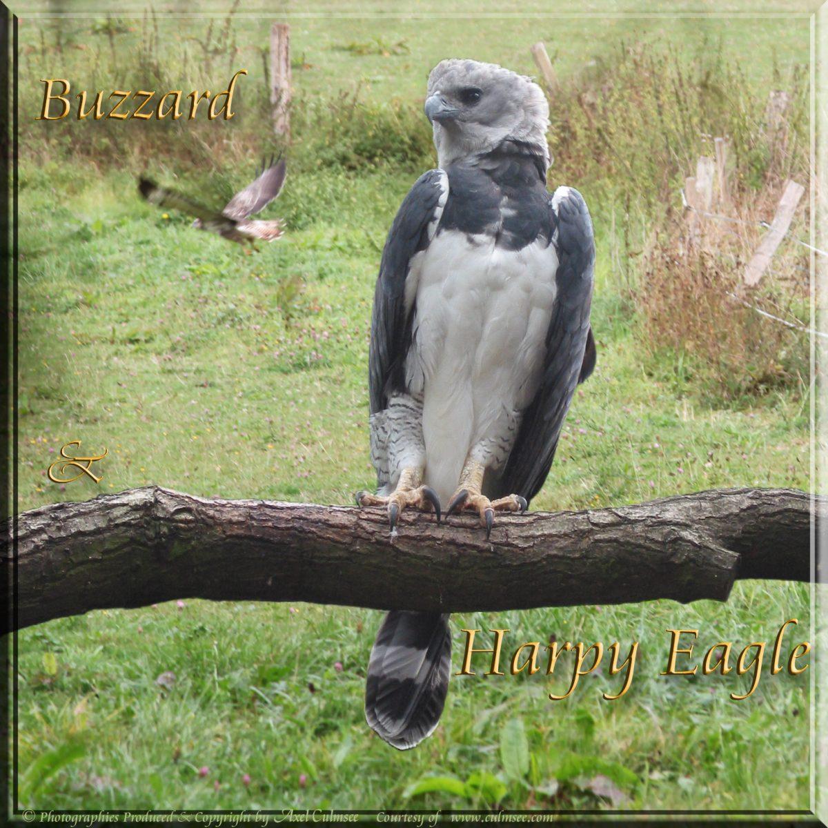 Harpy Eagle meets Buzzard