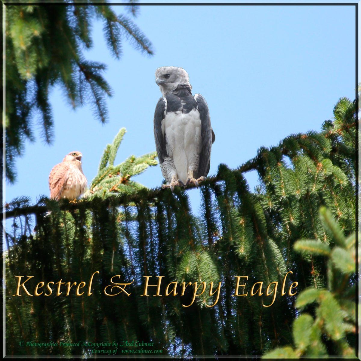 Harpy Eagle meets Kestrel