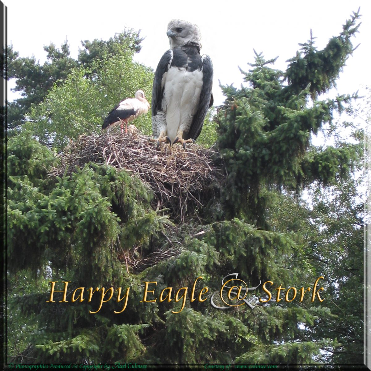Harpy Eagle visits Stork