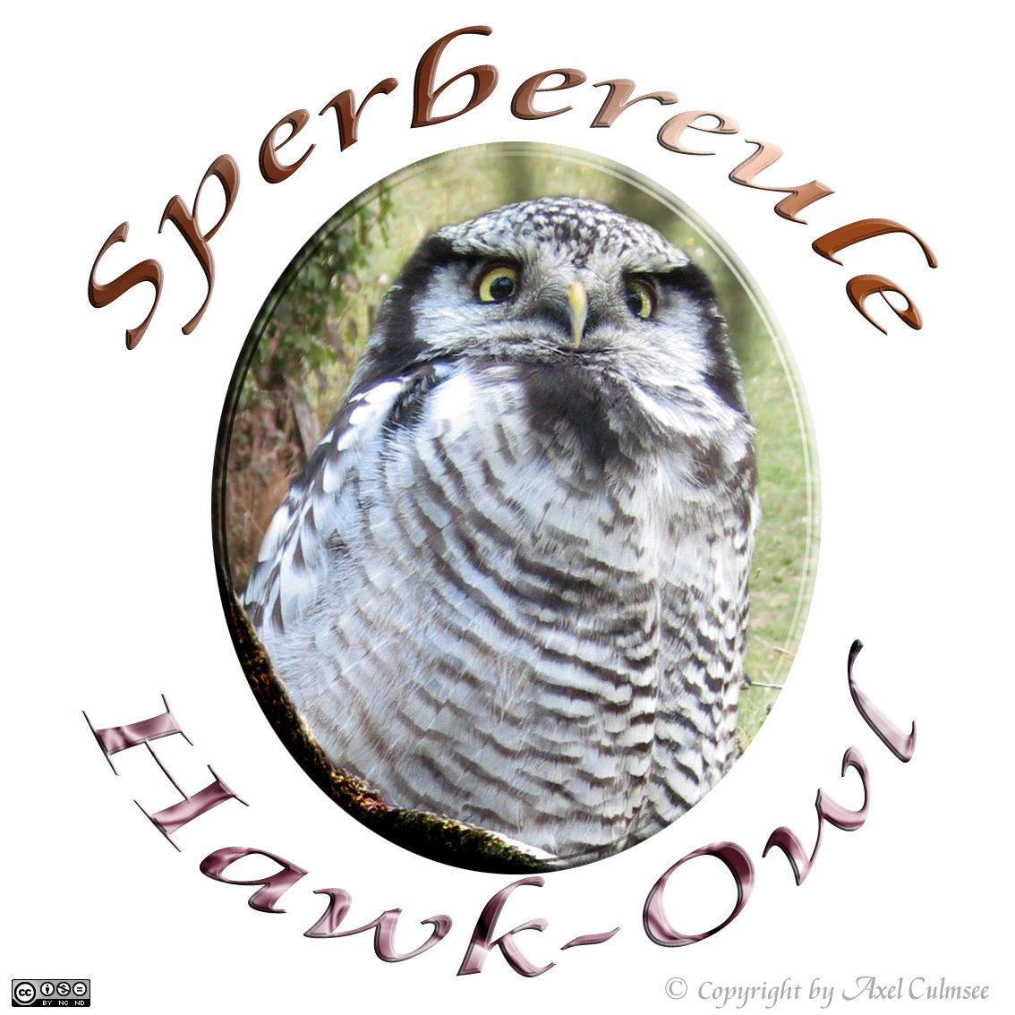 Northern hawk-owl, Sperbereule