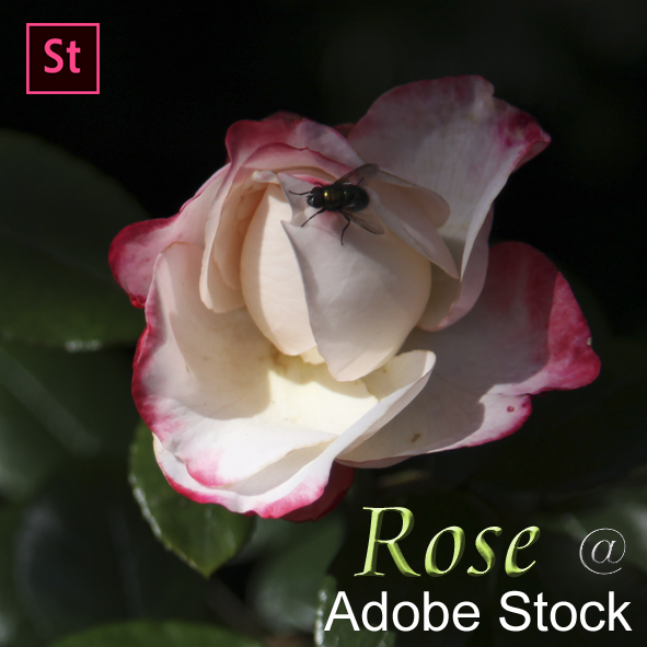 Rose at Adobe Stock