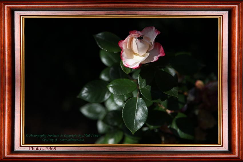 Rose 2969