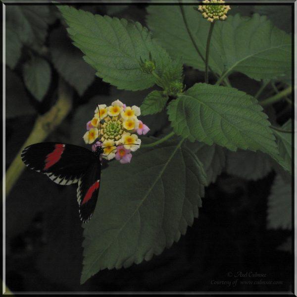 Butterfly 720
