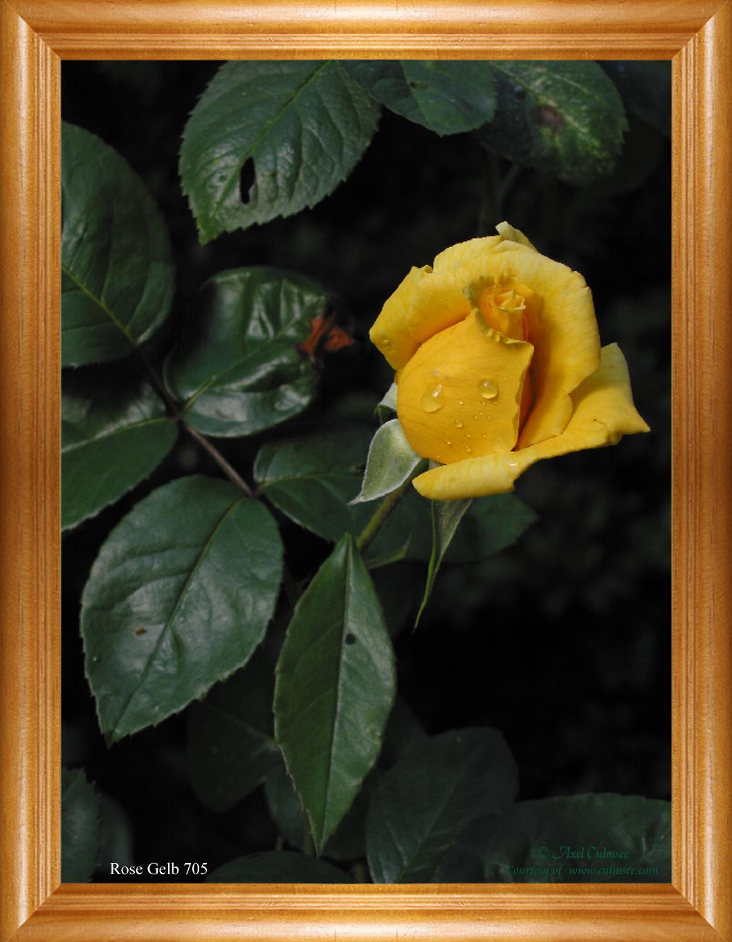 Rose Gelb 705