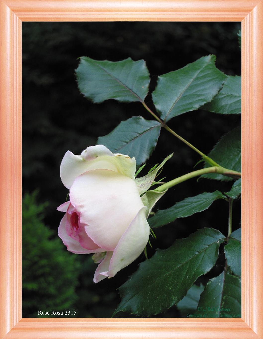 Rose Rosa 2315