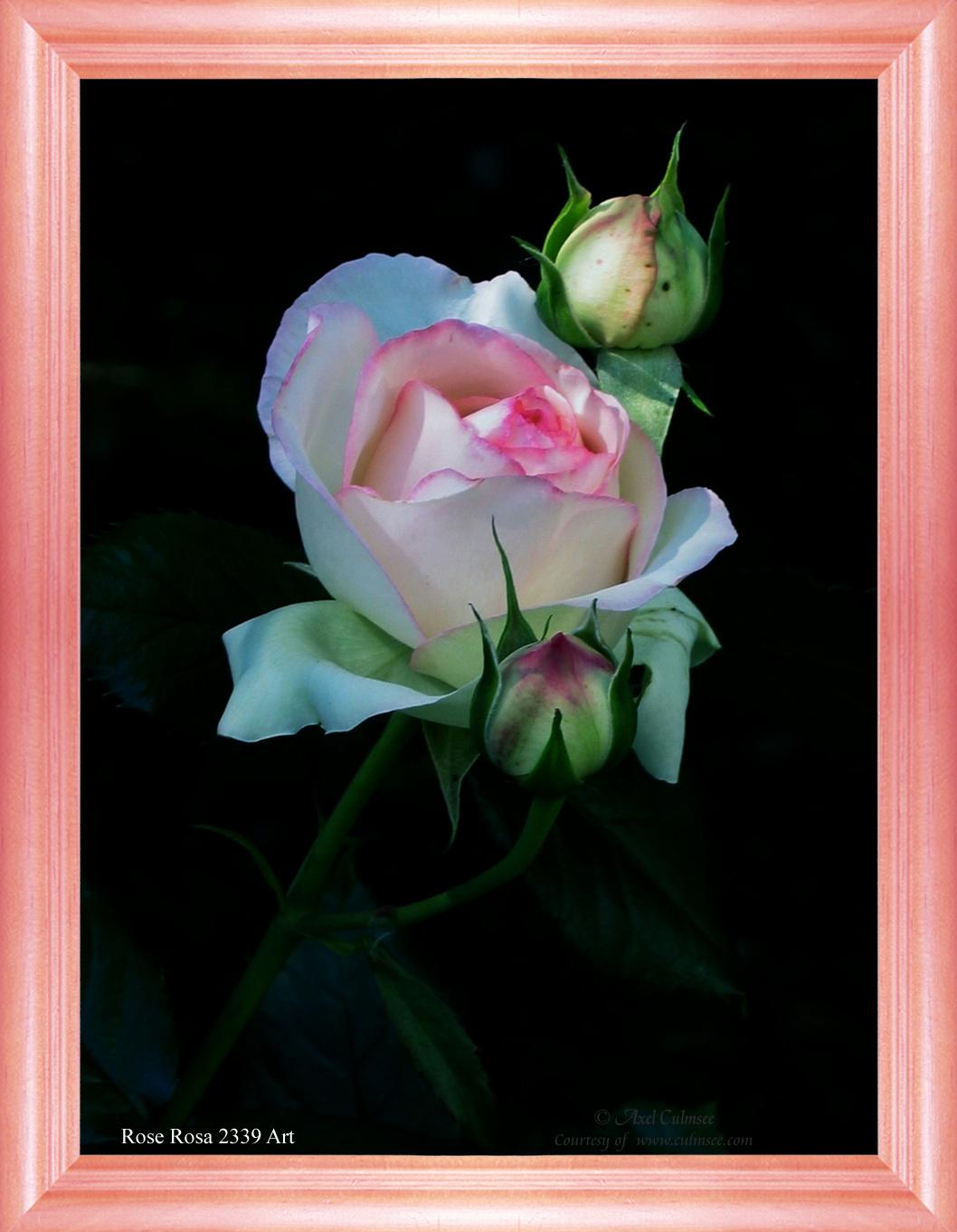 Rose Rosa 2339 Art
