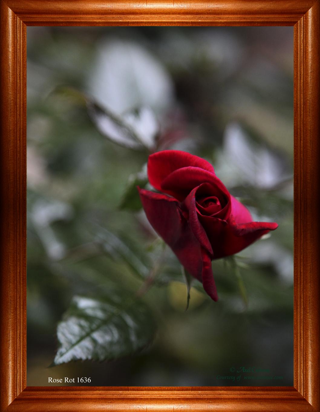 Rose Rot 1636