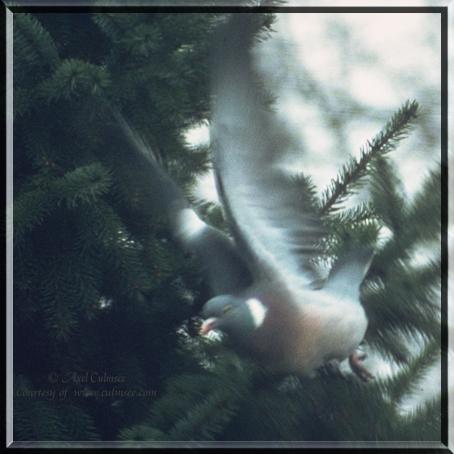 Pigeon starts