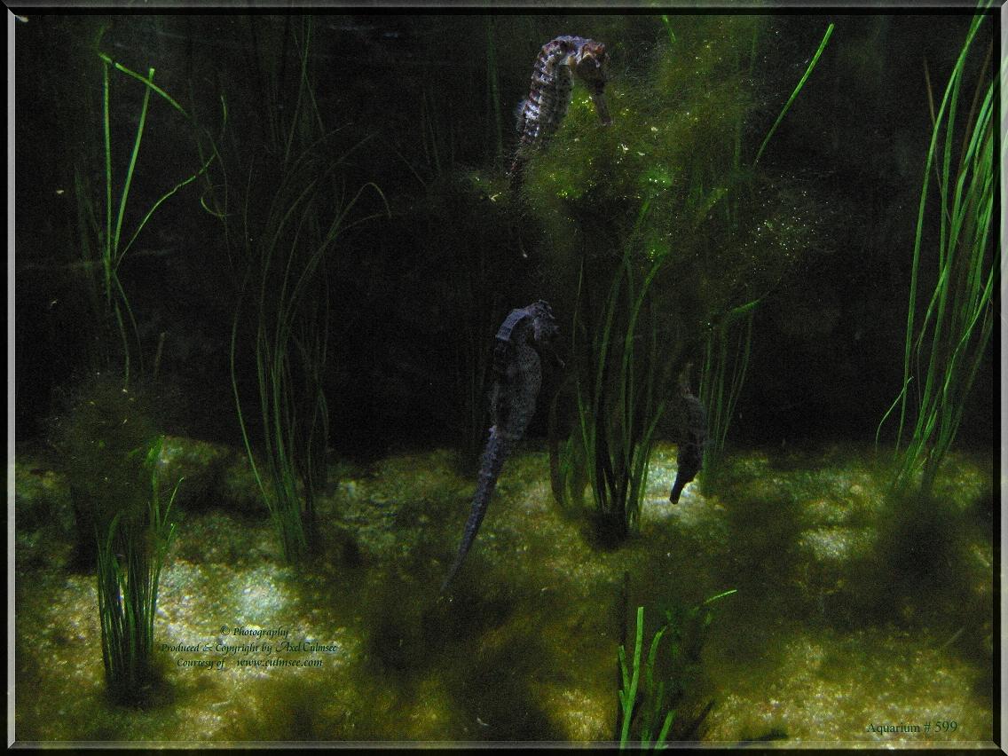 Seepferdchen, seahorse
