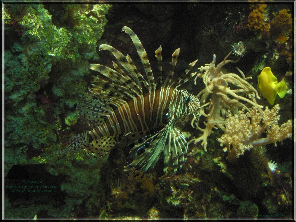 Feuerfisch Lionfish