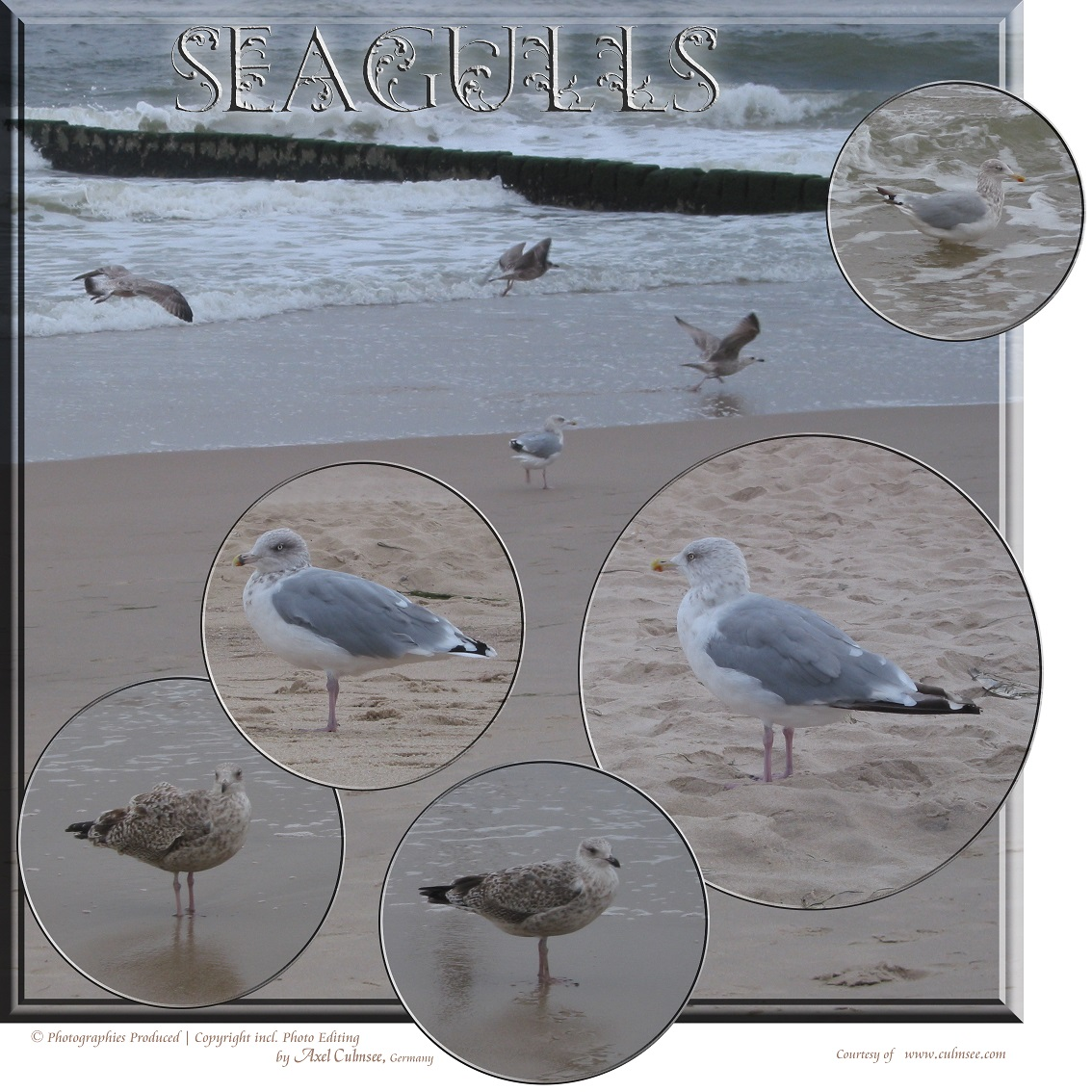 seagulls at Sylt