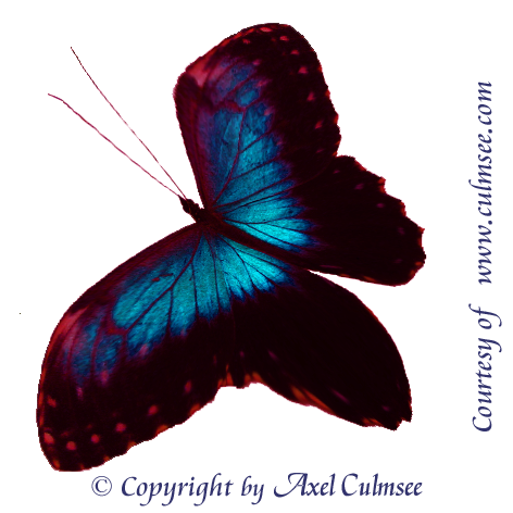 Butterfly morphed-18-blue