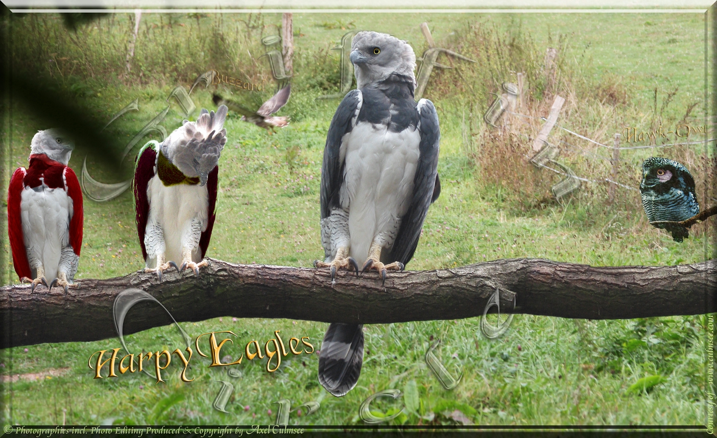 Harpy Eagles meeting at Griffin circle