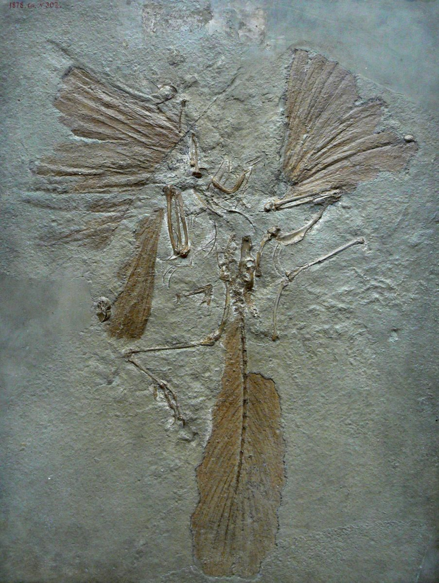 Archaeopteryx by Mariana Ruiz Villarreal (PDM)