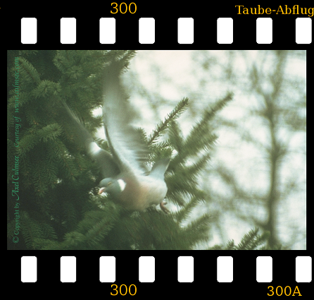 pigeon starts telephoto lens original