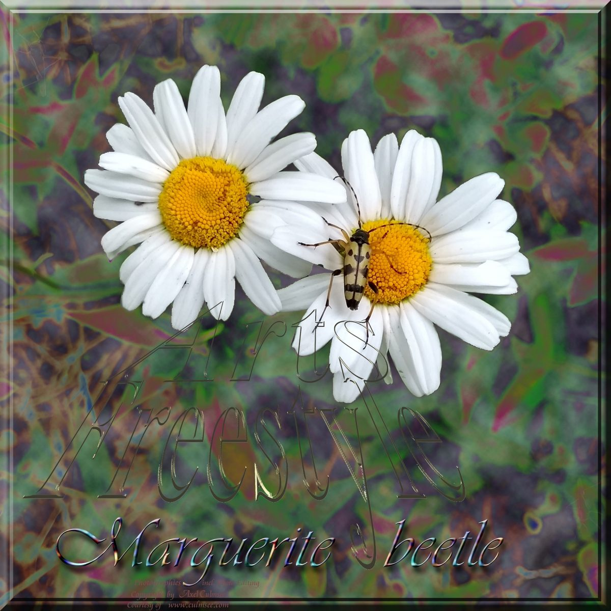 Marguerite beetle ArtsFreestyle semi-solarized