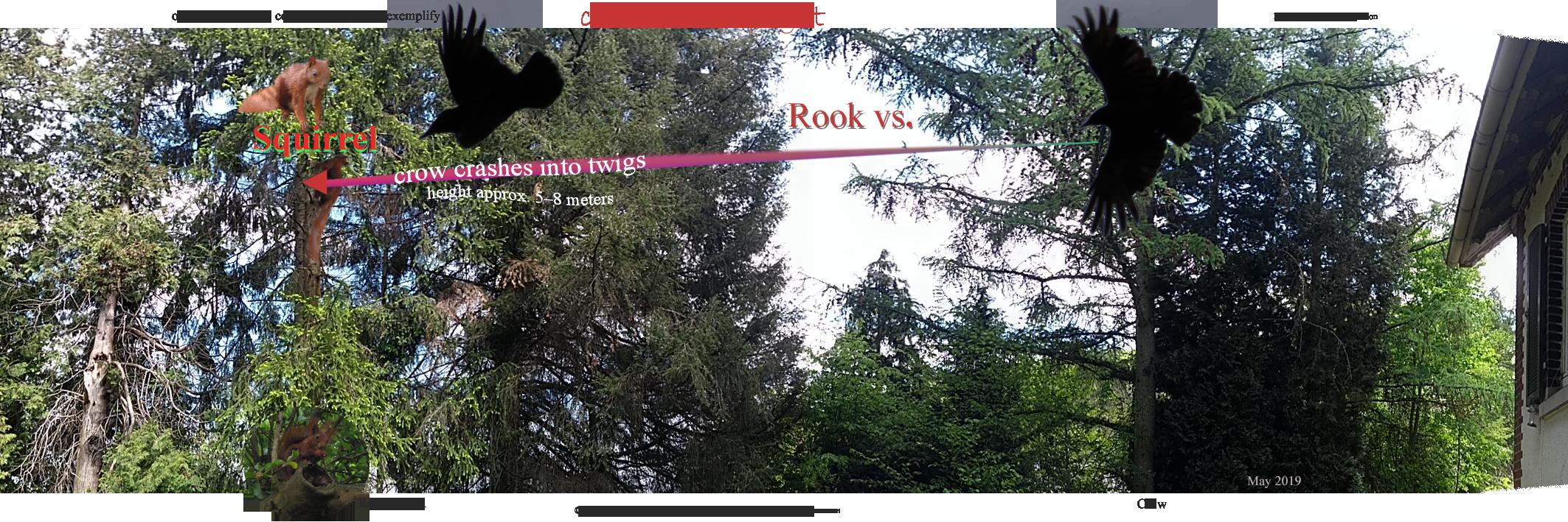 Crow attack flight vs squirrel