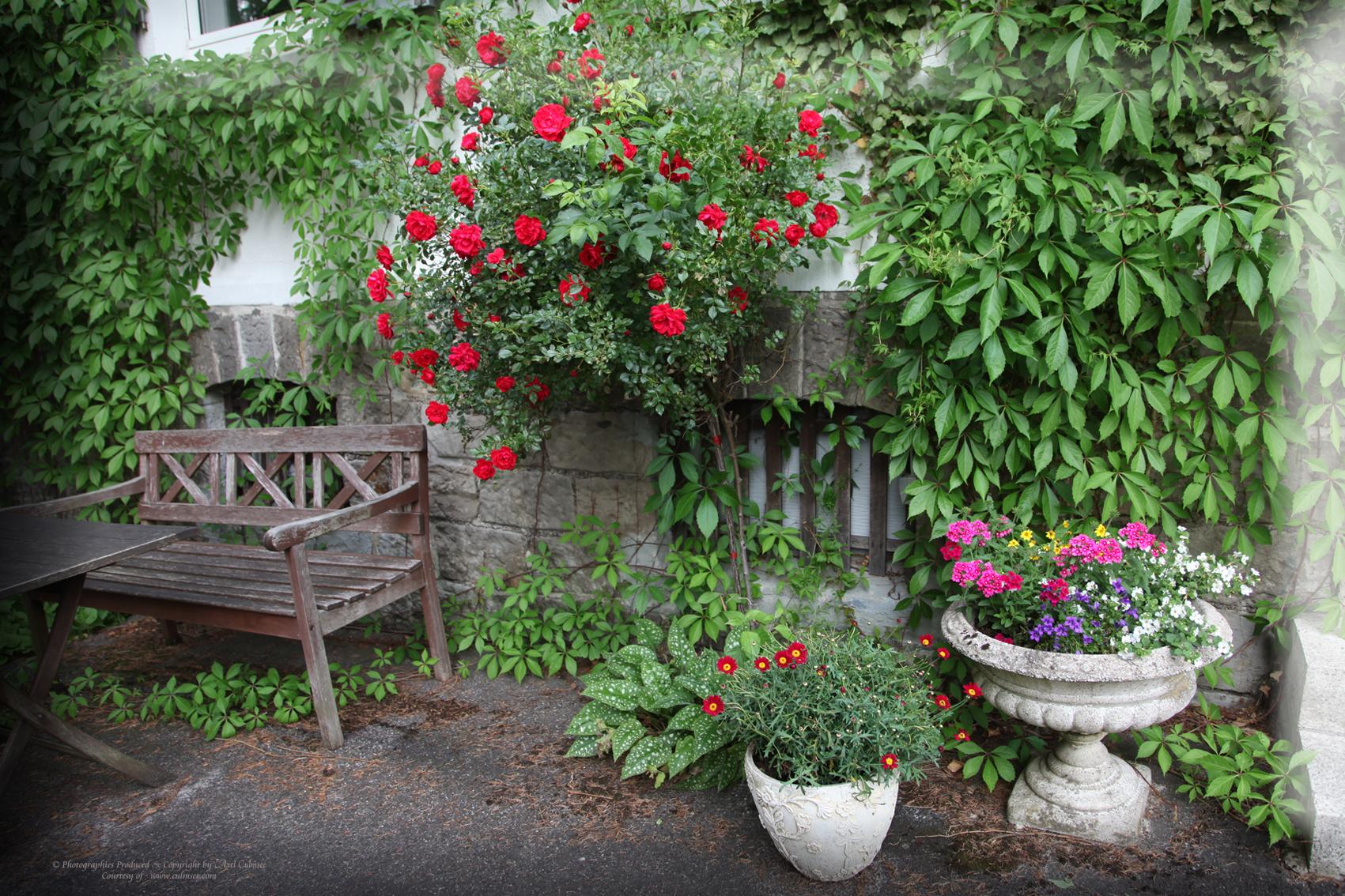 Rosenbusch und Wilder Wein an Hauswand