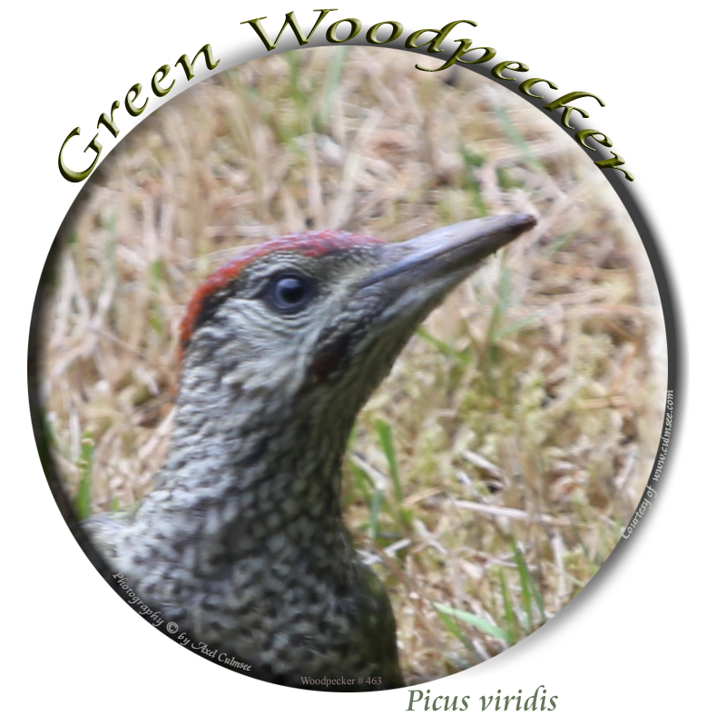 Grreen Woodpecker 363