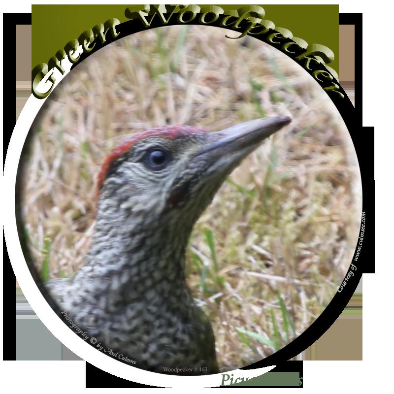 Green Woodpecker / Grünspecht