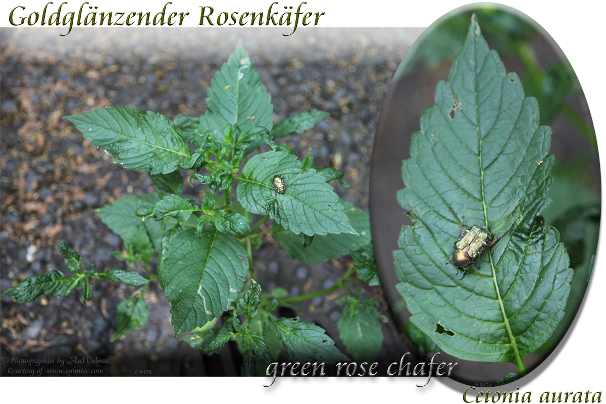 Goldglaenzender Rosenkaefer Cetonia aurata green rose chafer