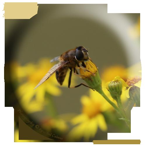 Schwebfliege Syrphidae Hoverfly 499