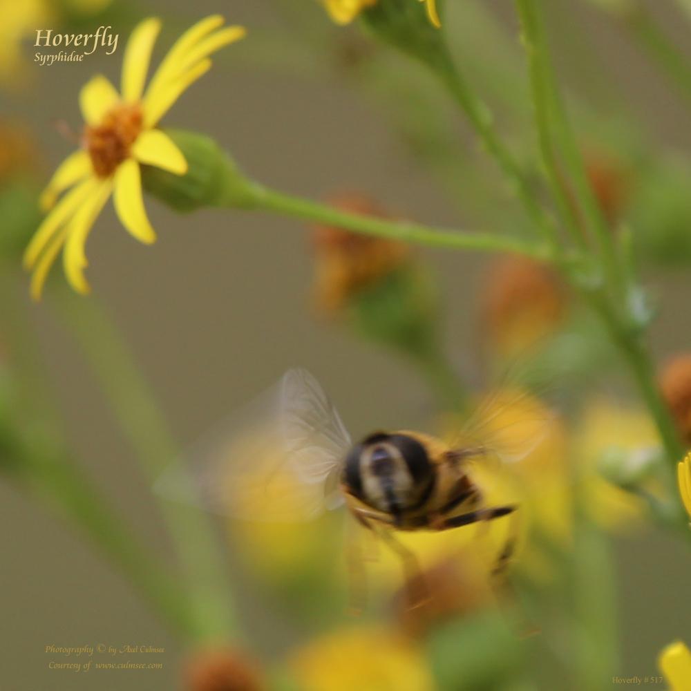 Schwebfliege Syrphidae Hoverfly 517