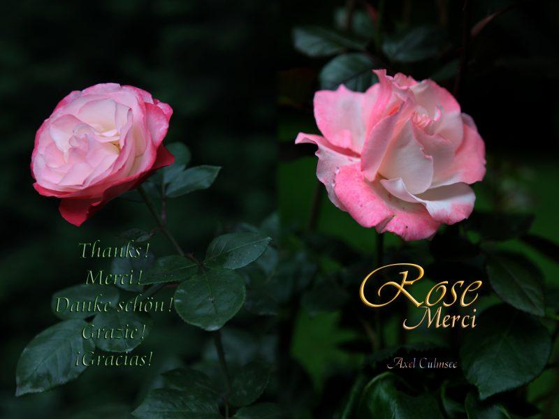 Amazon Paperback Taschenbuch-Cover von Axel Culmsee Rose Merci