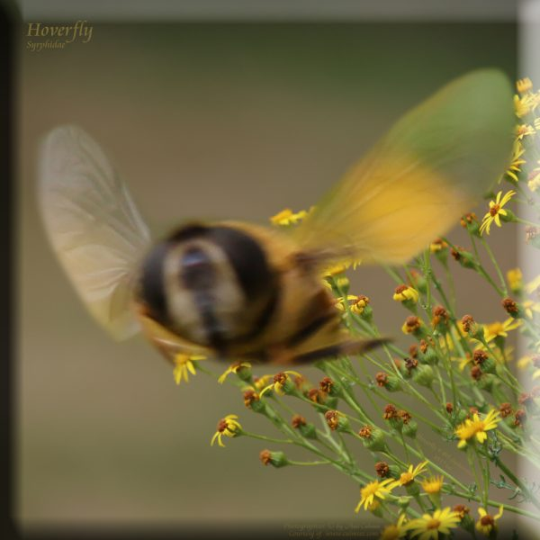Schwebfliege Syrphidae Hoverfly 495fus517
