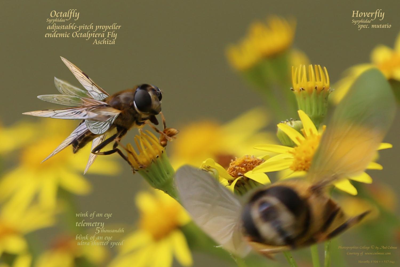 Schwebfliege Syrphidae endemic Octalfly spec mutatio