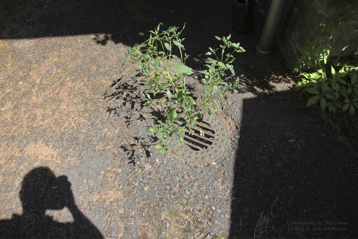 Gully-Pflanze