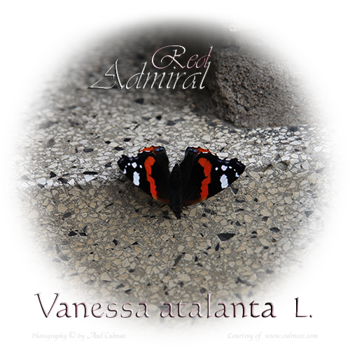 Red Admiral Vanessa atalanta L.
