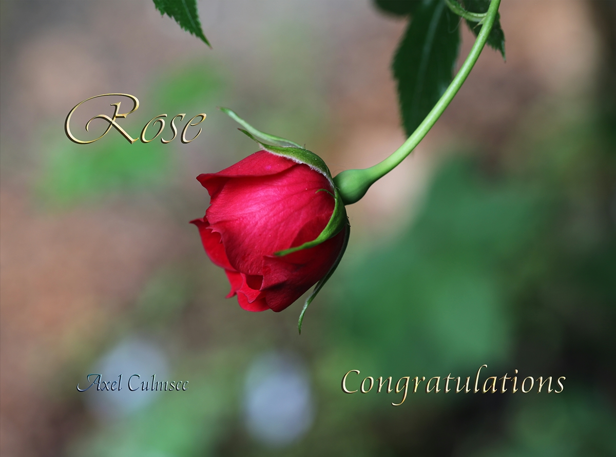 Rose Congratulations paperbook Cover front