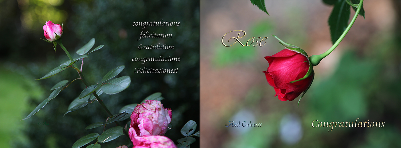 Rose Congratulations Paperbook Cover