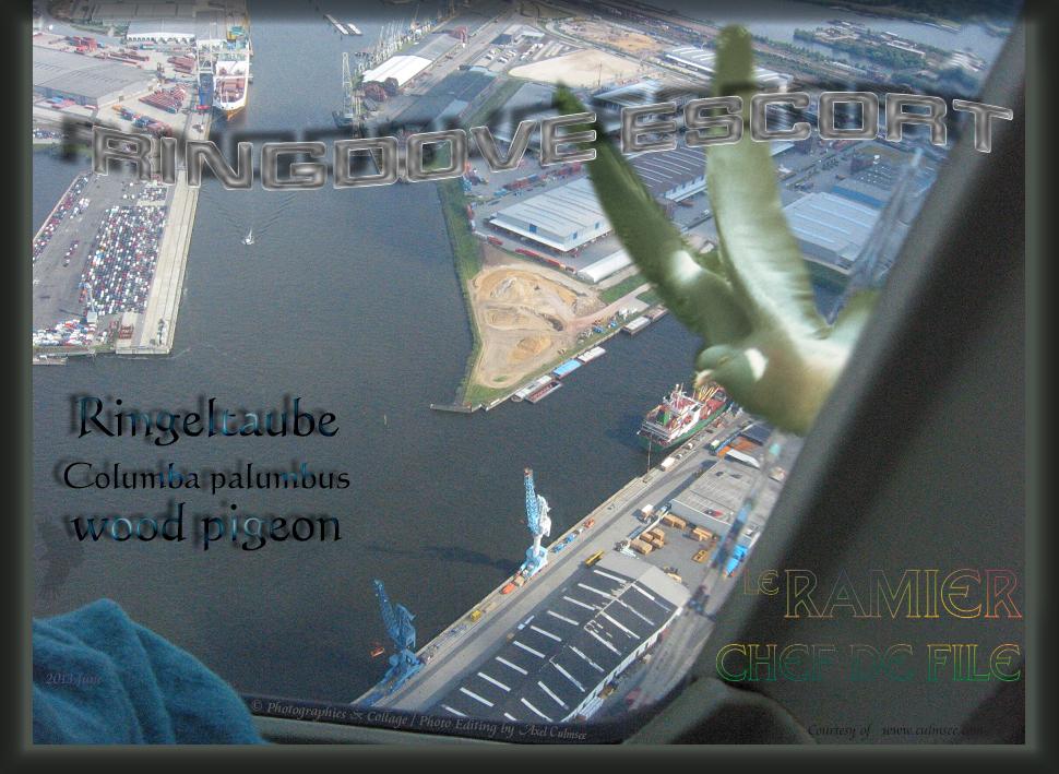 Taube fliegt neben Hubschrauber, dove escorts helicopter