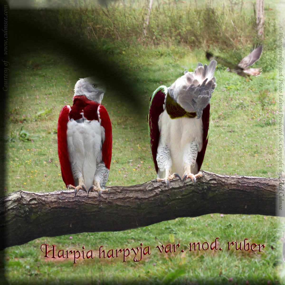 Harpia harpyja var. mod. ruber