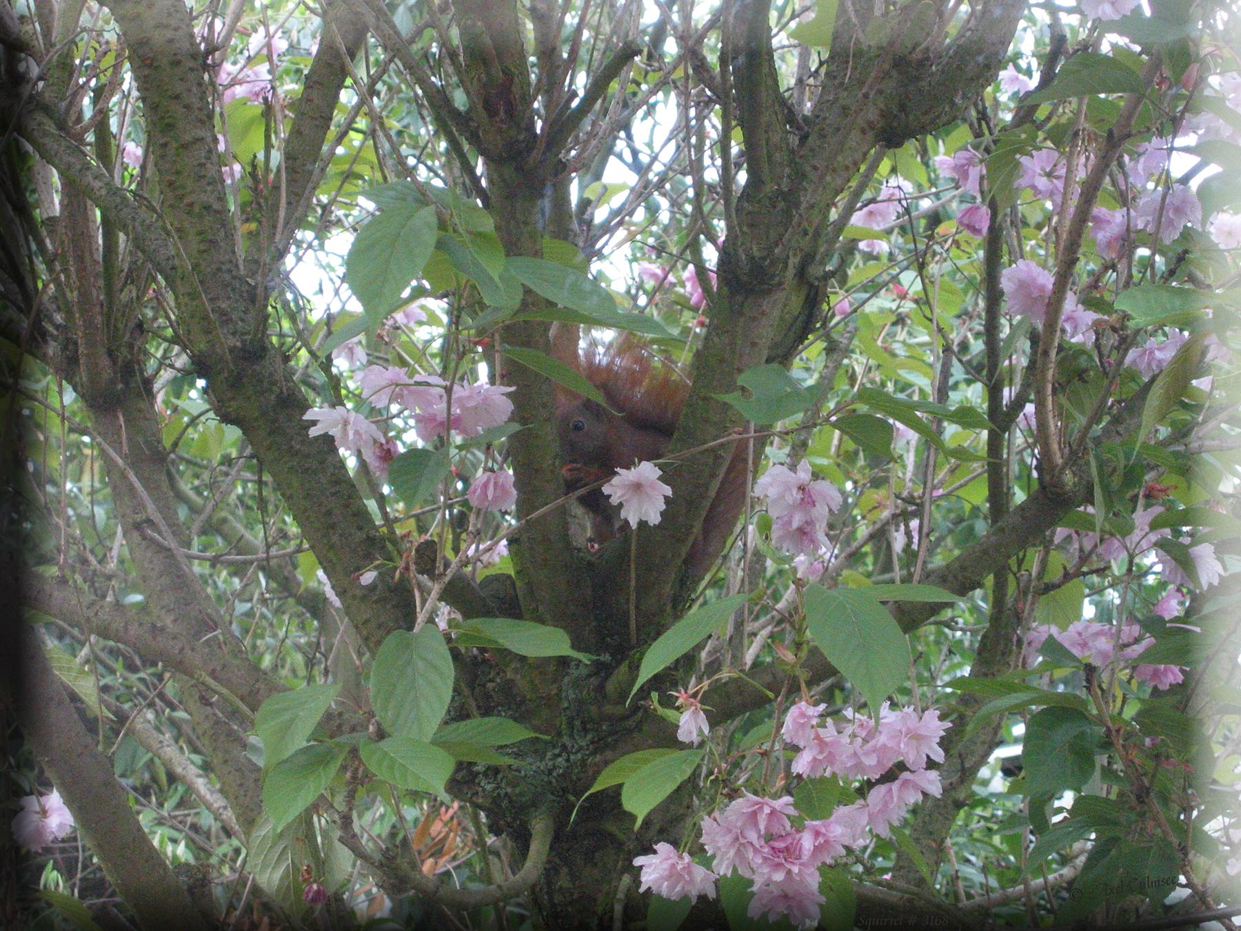 Squirrel / Eichhorn (Sciurus vulgaris)