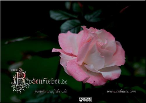 Rosa 1074-d