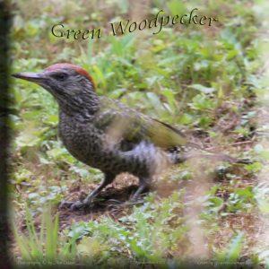 Grünspecht Picus viridis Green Woodpecker 472