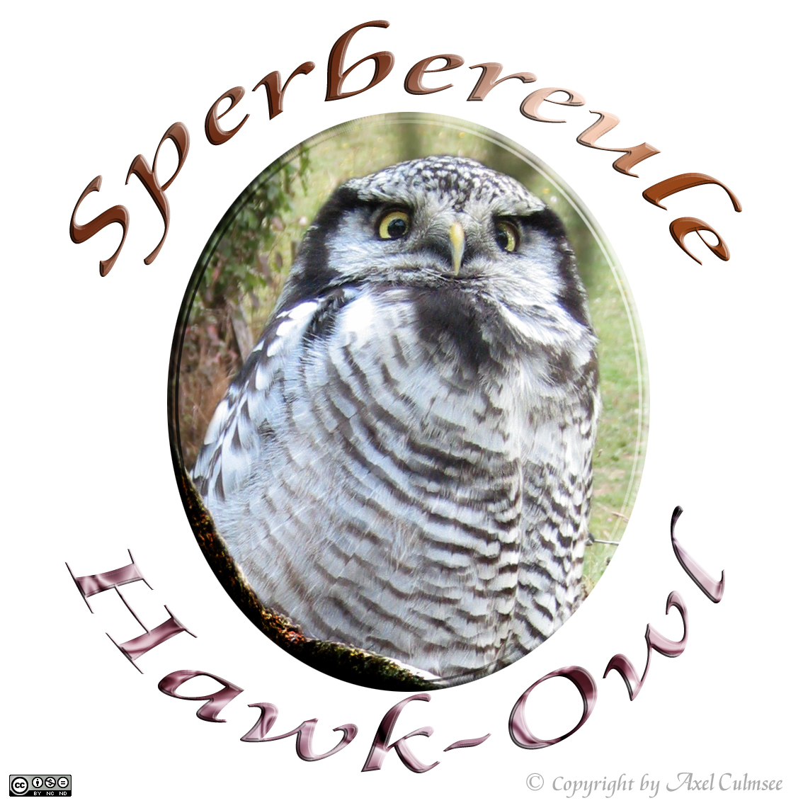 Northern hawk-owl, Sperbereule