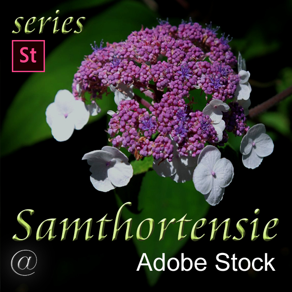 Samthortensie
