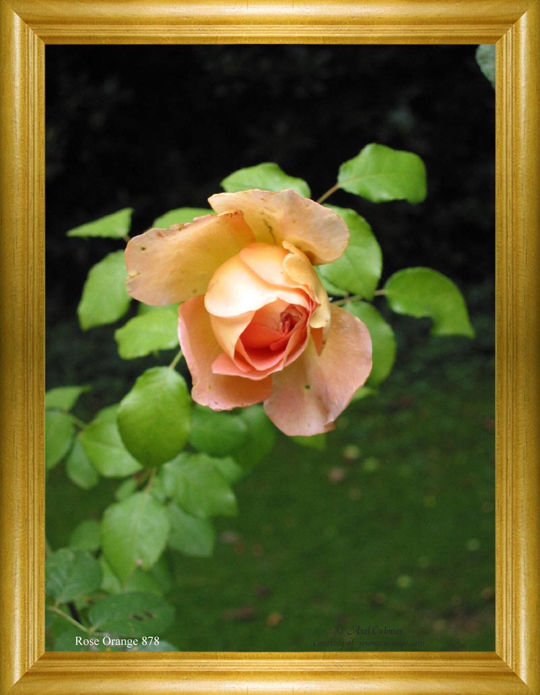 Rose Orange 878