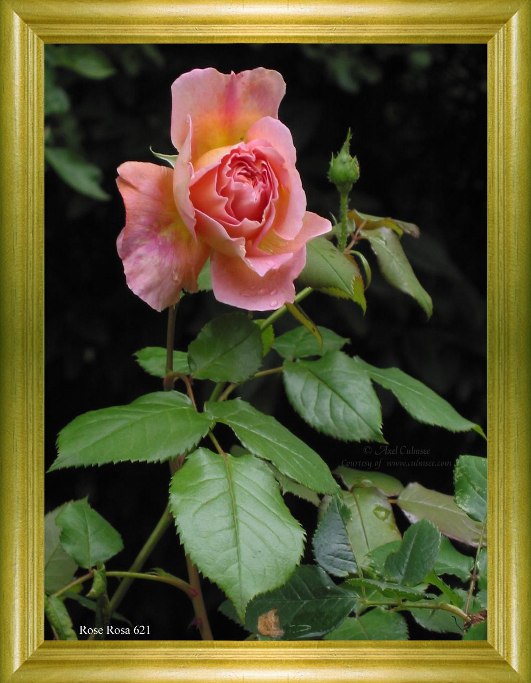 Rose Rosa 621