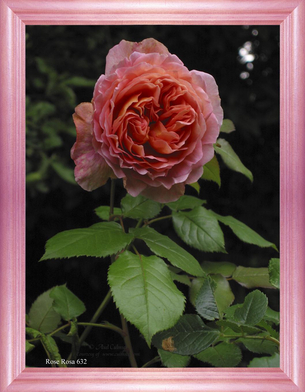 Rose Rosa 632