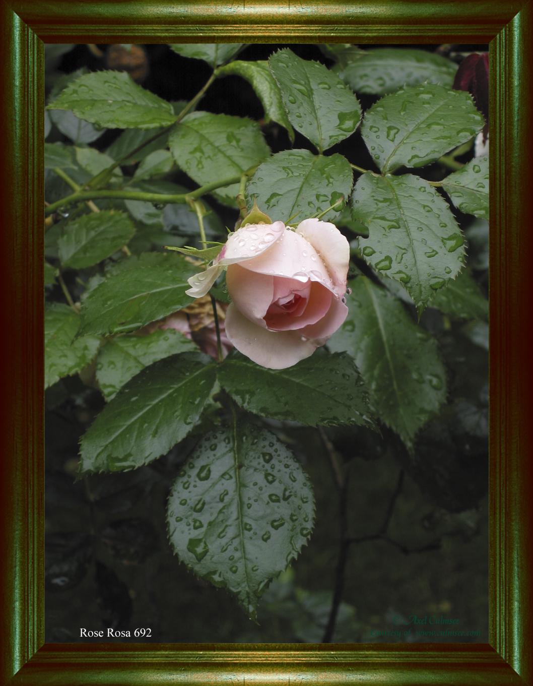 Rose Rosa 692