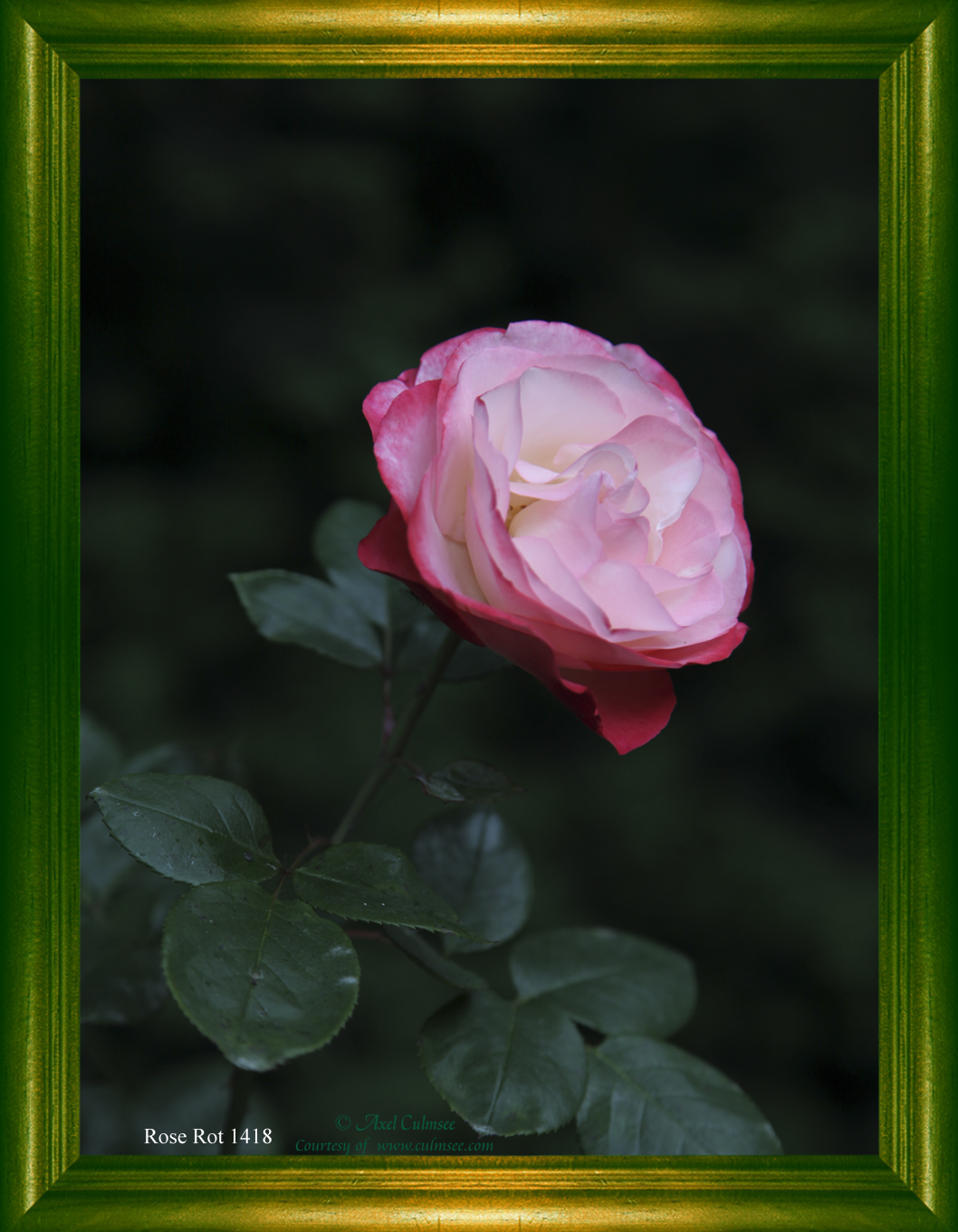 Rose Rot 1418